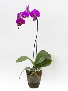 Plants: Orchid in Pink